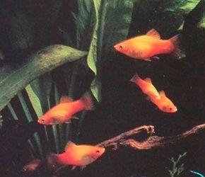 Platy -- Xiphophorus maculatus See more aquarium fish pictures.