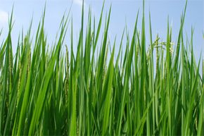 If plant-microbial fuel cells catch on, rice plants like these could mean energy as well as food. Want to learn more? Check out these alternative fuel vehicle pictures.