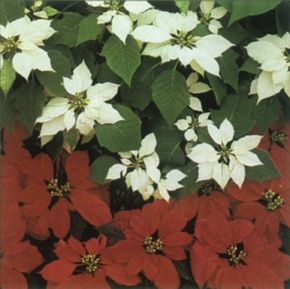 Poinsettia's stems end in colorful bracts of red, white, pink, or yellow. See more pictures of house plants.