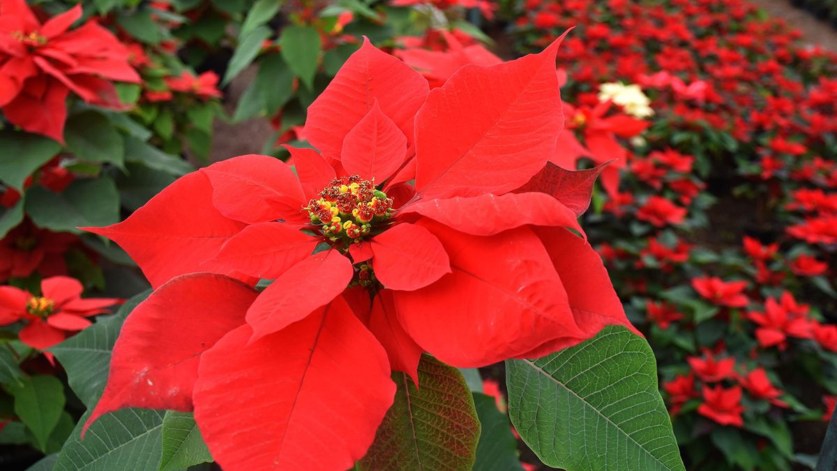 What Does the Poinsettia Have to Do With Christmas?