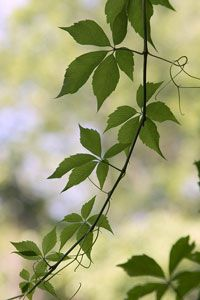 Poison ivy causes an itchy, blistery rash that forms on your skin.