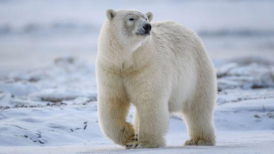 How Polar Bears Work