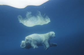 Polar bears are strong swimmers but they can't outswim a seal.