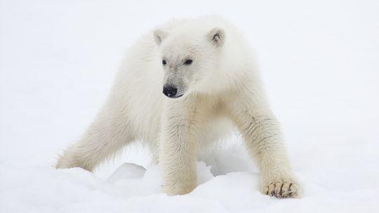 Will I die if I eat polar bear liver?