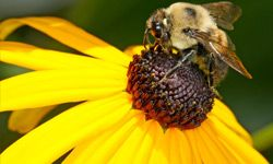 For some people, a bee sting can trigger a potentially deadly anaphylactic shock.