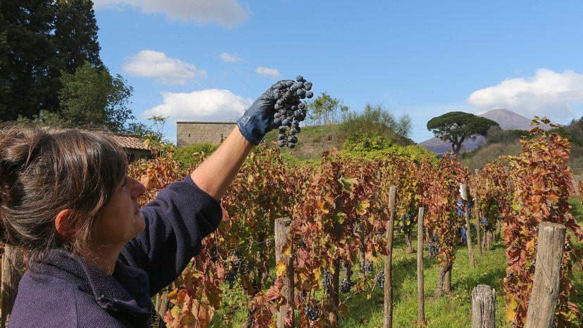 vineyards in Pompei