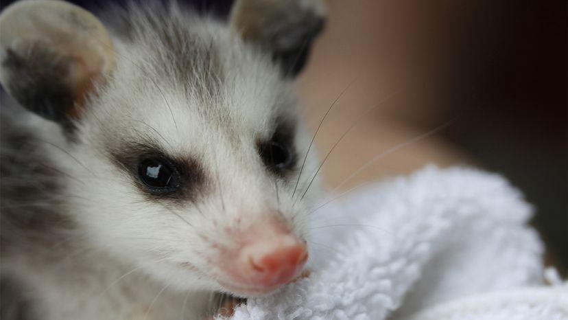 possum, scavenger