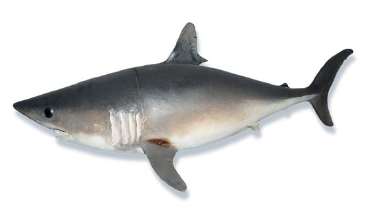 The Porbeagle Shark Hunts With Dogged Determination