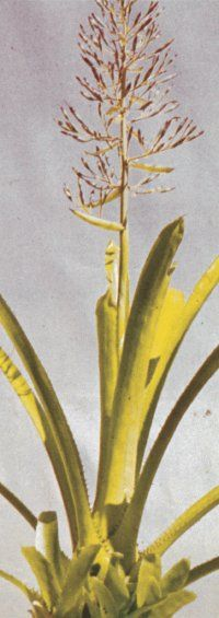 The Portea bromeliad features long leaves. See more pictures of bromeliads.