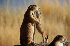 Kiss of death? Prairie dogs are highly susceptible to bubonic plague. See more pictures of rodents.