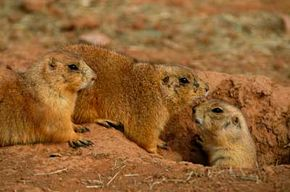 Once plague infects a prairie dog colony, the mortality rate is around 100 percent.