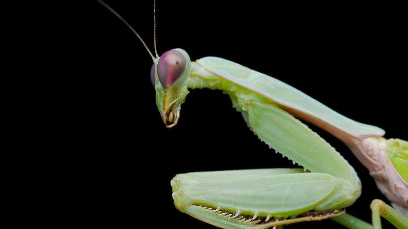 praying mantis, learning