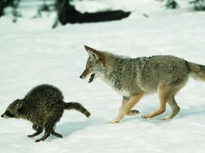 A coyote chasing prey of a different type -- a raccoon.
