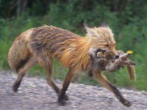 Would foxes make off with much more if there was no predator hunting?