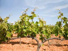 Vineyard in Priorat wine region of Spain. See more wine pictures.