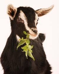 Having trouble in bed? Your goat is not.