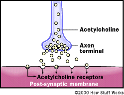 This illustration shows how the neurotransmitter acetylcholine works in the nerves. Organophosphates work by interfering with an enzyme that controls acetylcholine.