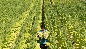 A seasonal worker harvests tobacco plants in a field near the eastern German town of Vierraden on July 31, 2008. See more controlled substance pictures.