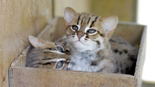 The Rusty-spotted Cat Is a Teeny-tiny Wild Cat