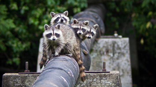 Raccoons Are Super Smart Urban Survivors