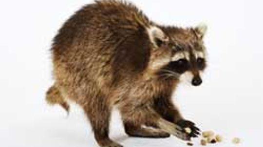 Raccoon Activity