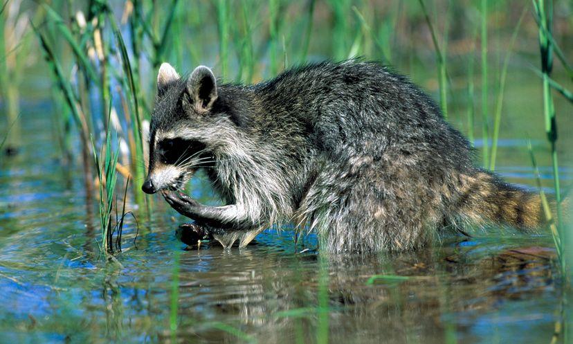 Raccoons Wash Food