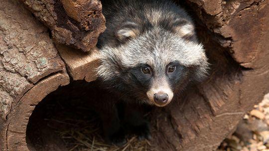 Is It a Dog? A Raccoon? No, It's a Raccoon Dog!