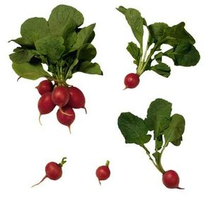 Fast-growing radishes can take less than a month from planting to harvest.