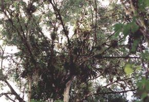 This tree has become covered in epiphytes. Note the vines and thick root balls that have formed in the branches.