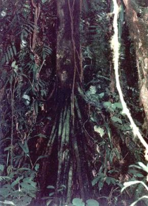Many tropical trees have stilt roots as a mechanism to counter the shallow, loose soil of the tropics. Instead of the roots splitting off the trunk underground, stilt roots split several feet above ground, making the tree more stable, and allowing it to utilize the soil more efficiently.