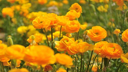 Ranunculus Is a Toxic Beauty With a Doozy of a Name