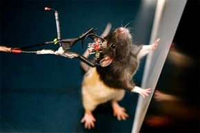 Sensors are attached to electrodes embedded in this rat's brain. Researchers in Norway used this experiment to help determine that the brain makes memories using a kind of GPS navigation system, and codes memories spatially.