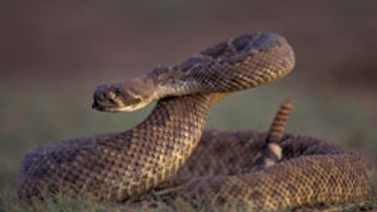 How to Scare Away Rattlesnakes