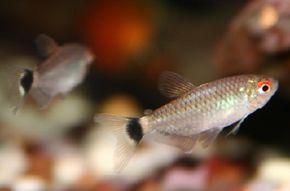 © David Malak                              Red-Eye Tetra -- moenkhausia sanctaefilomenae See more Aquarium Fish Image Gallery.