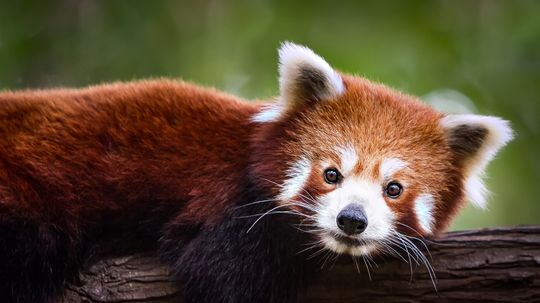 Red Pandas Are Not the Lesser Pandas