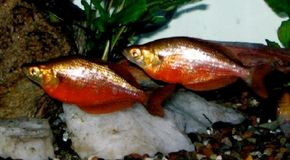 Red Rainbowfish -- glossolepsis incisus
