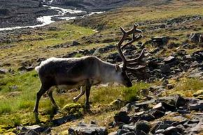 Reindeer reside in the tundra, which is the plain between the polar ice cap and the timberline. See more arctic animal pictures.