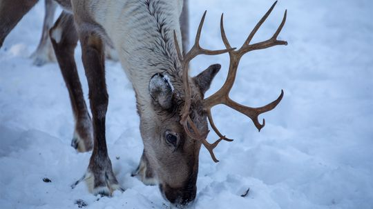 What Do Reindeer Do When They're Not Pulling Santa's Sleigh?