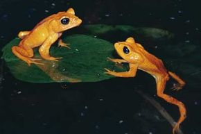 The golden toad is one of many amphibian species to recently become extinct.