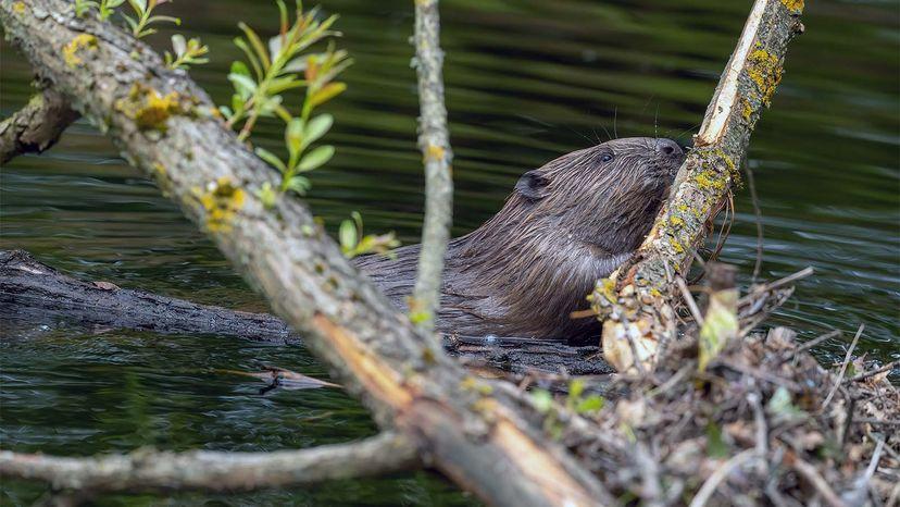 Eurasian beaver in Scotland