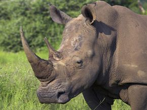 In some parts of the world, rhinoceros horns are sought for their perceived medicinal properties. See more pictures of mammals.