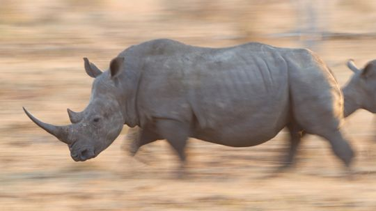 Do Rhinos Really Stomp Out Fires?