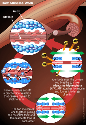 Myosin, actin and ATP are central to muscle contractions.
