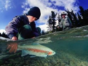 Boy releasing rainbow trout in a river.