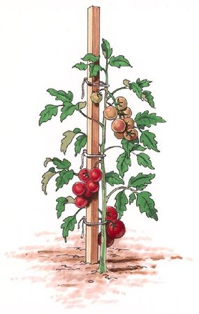Stakes are a good option for supporting your tomato plants.