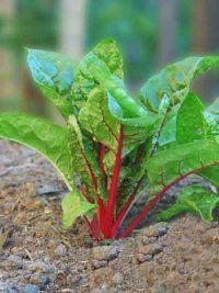 Rhubarb is an excellent candidate for division. See more pictures of vegetable gardens.