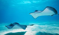 Stingrays are considered by most experts to be docile creatures, only attacking in self-defense.