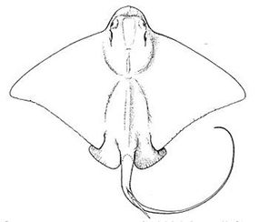Australian bull ray, a.k.a. southern eagle ray, Myliobatis australis