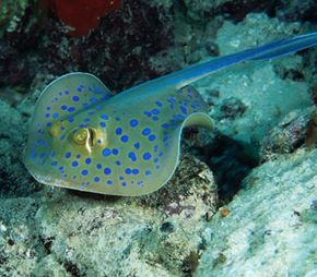 The Blue-Spotted Stingray (Taeniura lymma), Red Sea., Egypt, Africa. See more pictures of marine life.