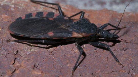 Don't Get Bitten by the Kissing Bug